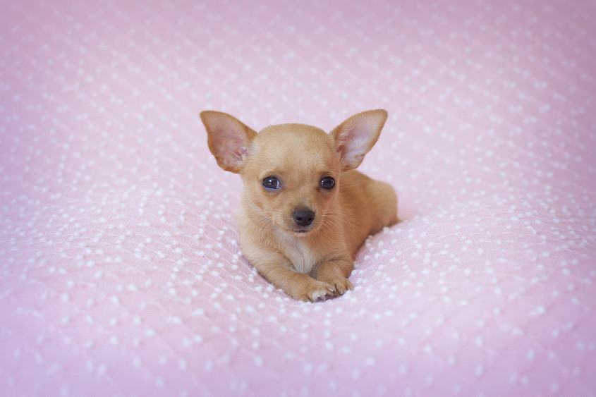 Tea cup chihuahua laying on pink balnket