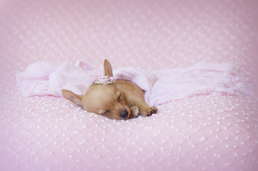 Newborn tea cup chihuahua sleeping on pink blanket with pink blanket draped over head and pink flower head band