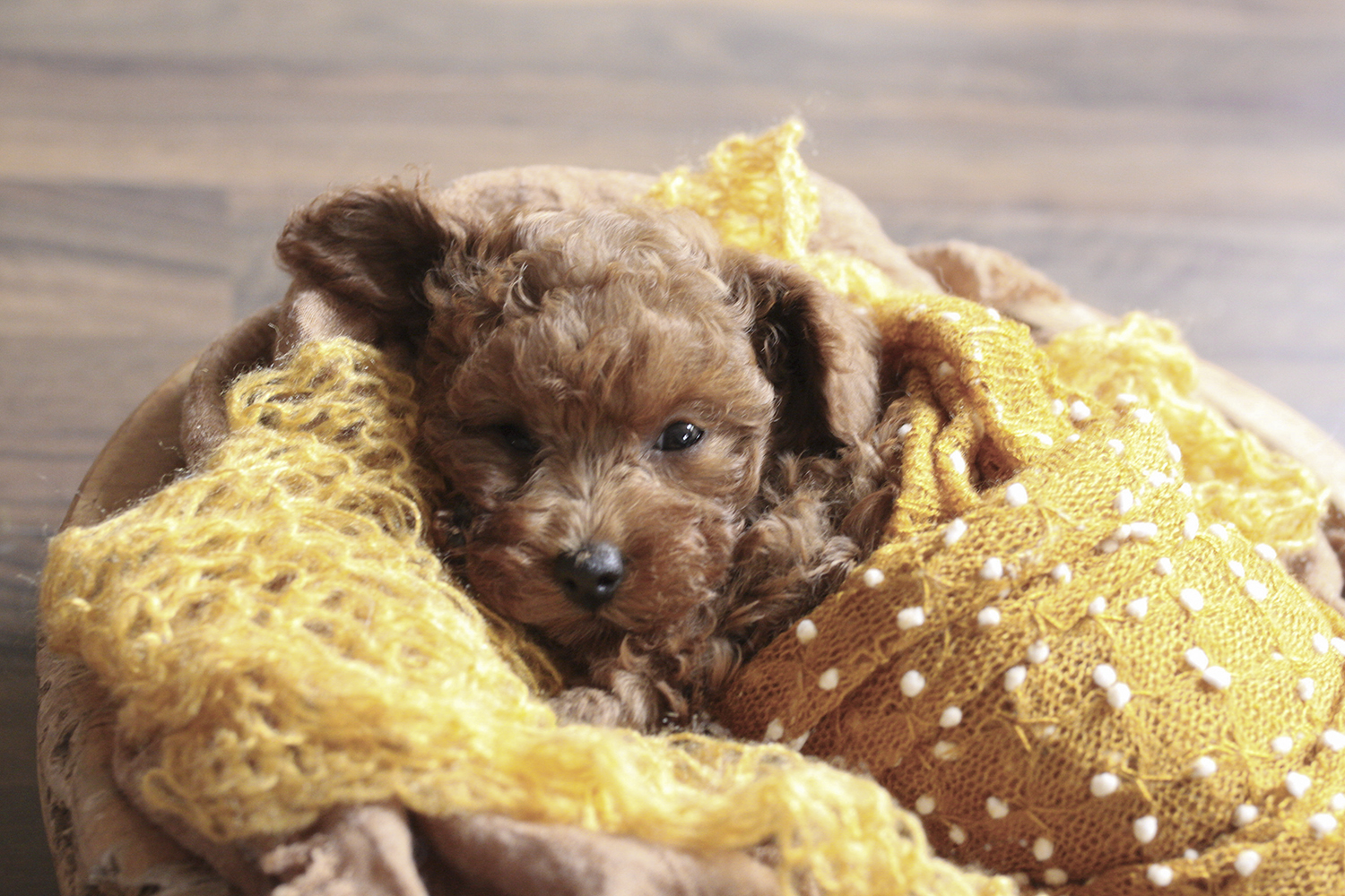 Newborn puppy in wooden bowl with mustard wraps and layers and blankets on wooden floor