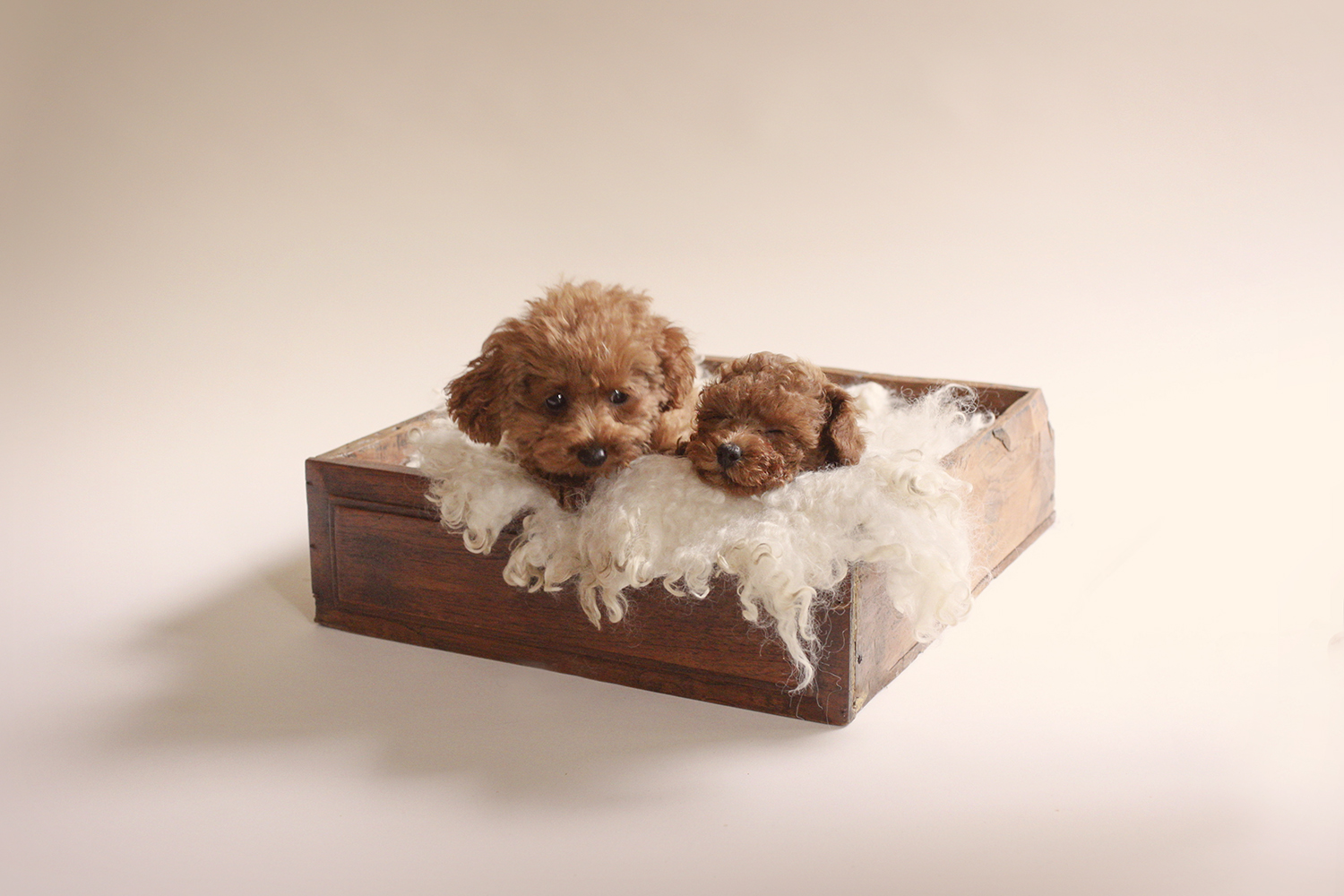 Newborn puppies sleeping in wooden drawer with cream curly fur on cream backdrop