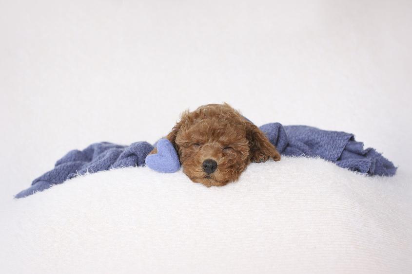 Newborn puppy sleeping on cream blanket with blue wrap