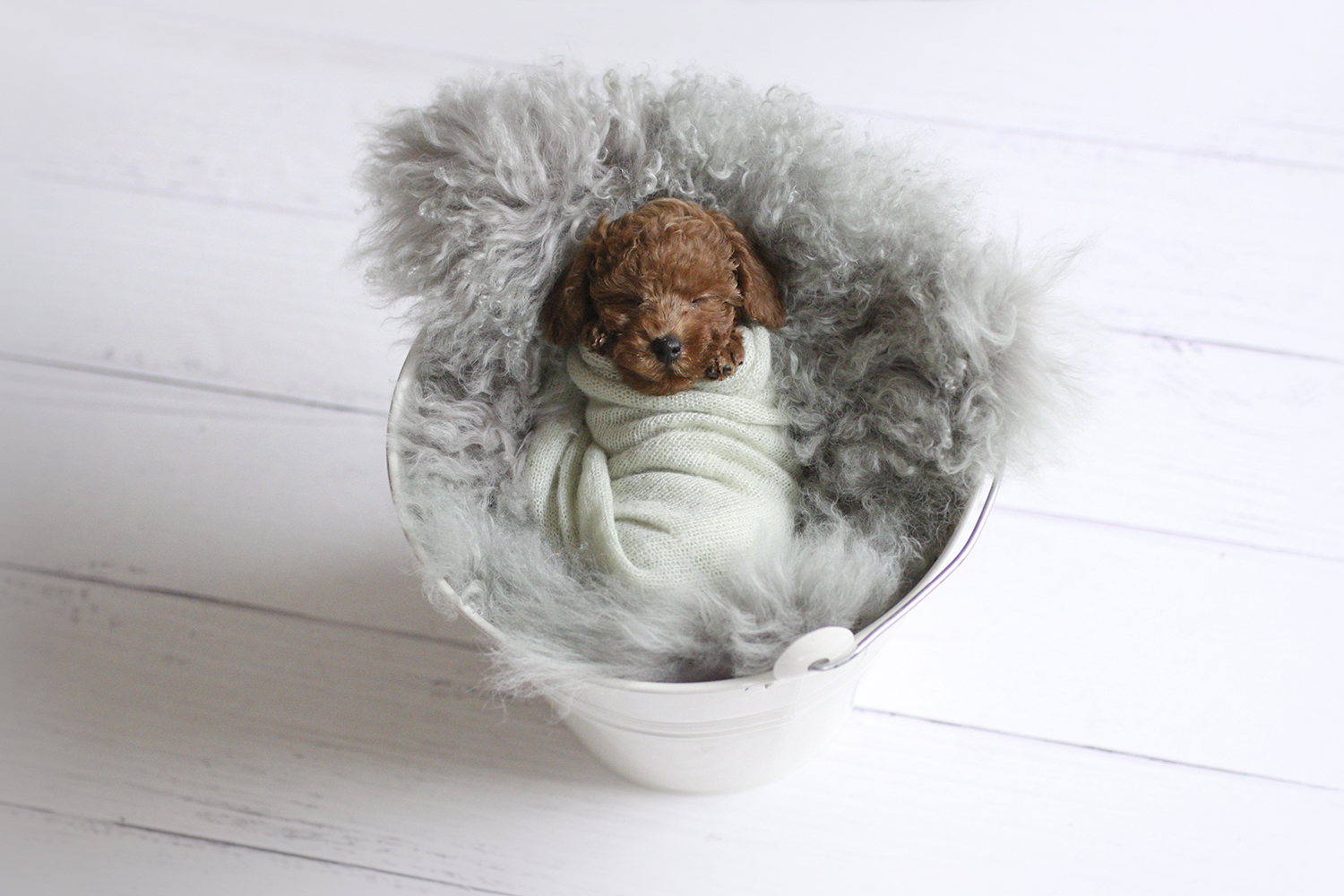 Newborn puppy in white tin bucket with grey curly fur and mint wrap on white wooden floor
