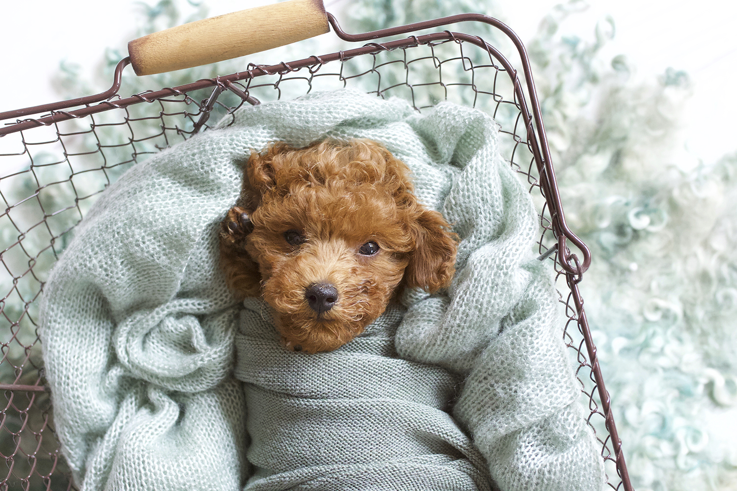 Newborn puppy sleeping in farmers basket with sage blanket and wrap and curly fur on white wooden floor
