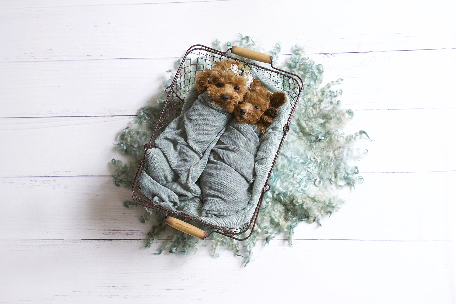 Newborn puppies sleeping in farmers basket with sage blanket and wrap and curly fur on white wooden floor