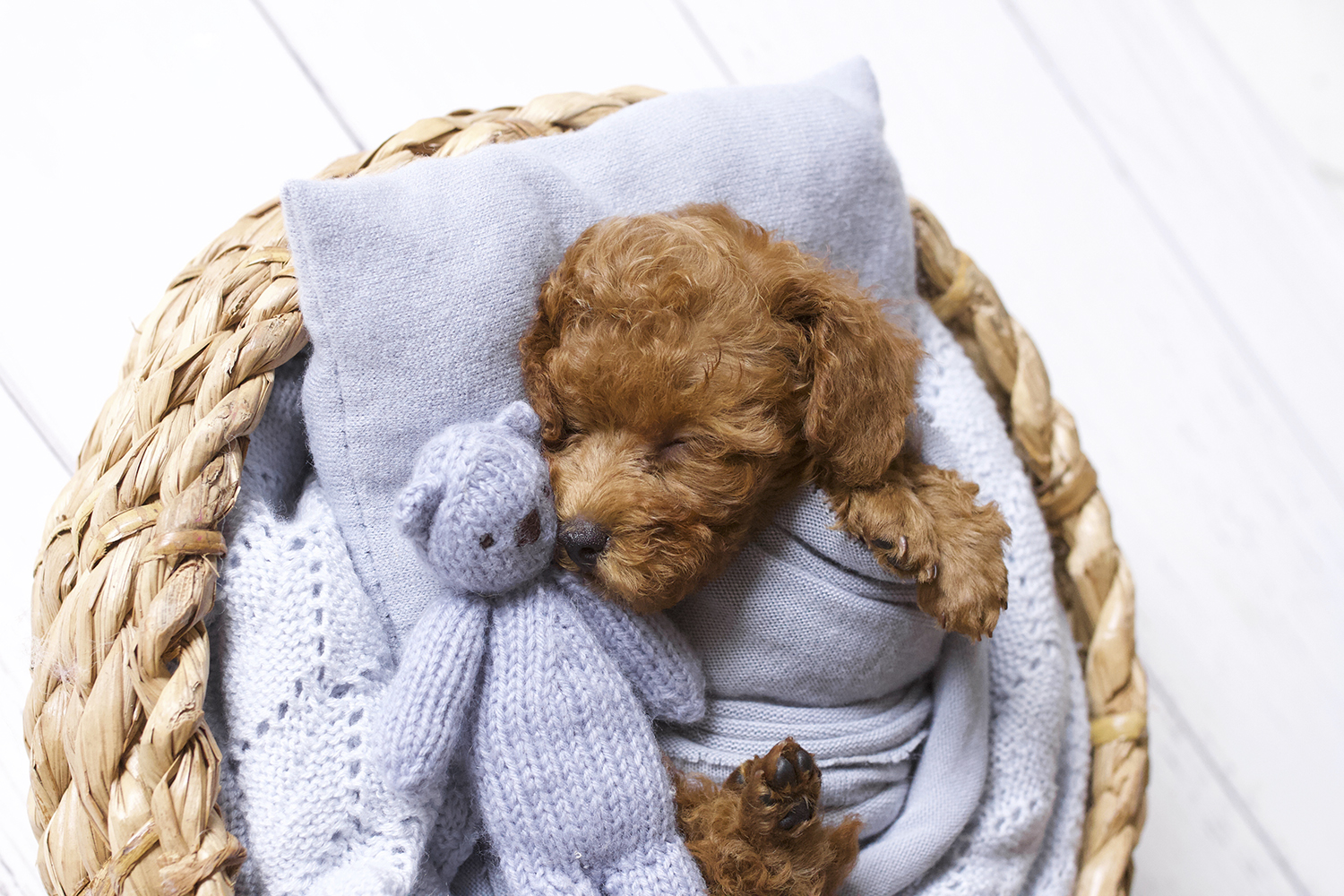 Newborn puppy sleeping in round cane basket on white wooden floor with blue blanket and wrap and pillow and knit bear
